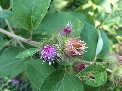 burdock blooming